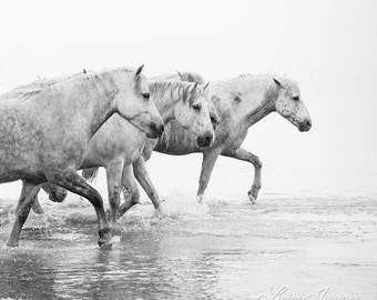 Four White Horses Walk through the Water - Fine Art Horse Photography - Horse - Black and White