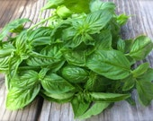 Basil Genovese Italian Variety Best Tasting Basil Grown to Organic Standards Heirloom Best Flavored Culinary Basil Seeds