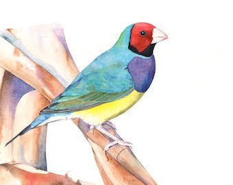Gouldian Finch print of watercolour painting A3 size GF6015 - Australian finch painting - Gouldian Finch watercolour painting