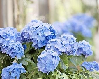 "Blue Hydrangea Flower Photography, Periwinkle Floral Picture, Spring Wall Art, Botanical Garden Print, Green Photo Decor, ""Blue Hydrangeas"""