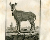 1811 Antique Copper Engraving Male Picta Antelope, Le Nil-Gaut, Antique Print from Buffon Natural History, Ungulates