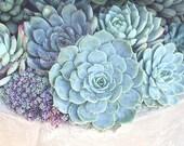 Nature Photography- Botanical Print, Succulents Photograph, Mint Green Blue Cream, Home Decor, Escheveria, Succulent Wall Art, Garden Art