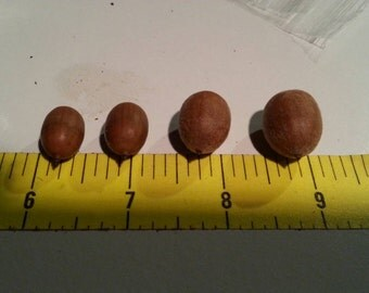 Special Order Acorns only - Qty 50