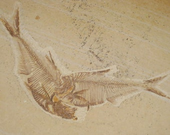Fossil Fish - Diplomystus - fossil fish