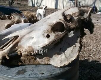 Large Complete Horse Skull