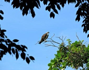 Fish Hawk, Osprey, Bird of Prey, Florida, Free US Shipping, MVMayoPhotography