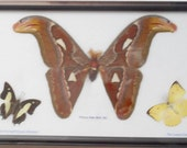 Real Butterflies Moth(M) Taxidermy in frame BF03J