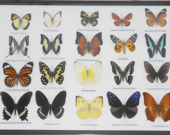 REAL 20 MIX BUTTERFLIES Collection Taxidermy Framed/BTF13J