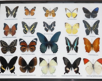 REAL 20 MIX BUTTERFLIES Collection Taxidermy Framed/BTF13E