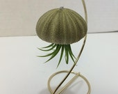 Succulent Plant Small Sea Urchin with Tillandsia Air Plant Jellyfish With Stand