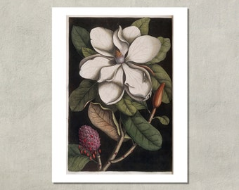 White Magnolia Flower Botanical Print, 1731 - 8.5x11 Reproduction Antique Print - also available in 11x14 and 13x19 - see listing details