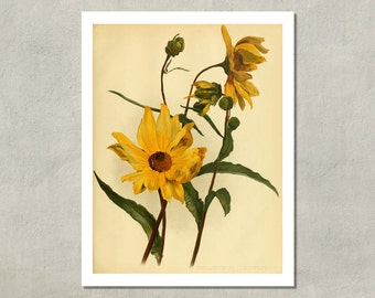 Sunflower Botanical Print, 1894 - 8.5 x 11 Print -  also available in 11x14 and 13x19 - see listing details