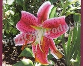 Note Cards:  Stargazer Lily photo note card
