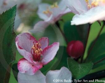 Cherry Blossom Macro Fine Art Photo Print
