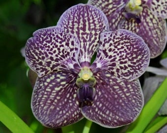 Vanda Orchid (FREE SHIPPING in the U.S. only)