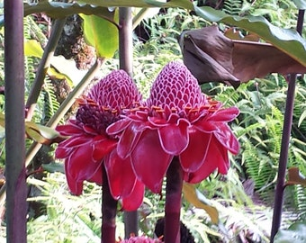 Lot of 3 HUGE Red Torch Ginger Etlingera Elatior Rhizomes w/ Roots FROM HAWAII
