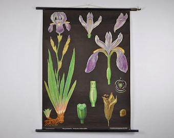 RARE Original Mid Century Botany Print. Iris germanica (Deutsche Schwertlilie). Pull Down Chart. Jung Koch Quentell. Germany. 1068