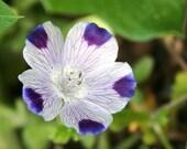 Five Spot, Nemophila maculata, Low Growing, Carpet of Blooms, 25 Seeds