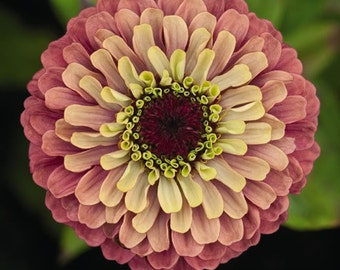 Zinnia Seeds Queen Lime Red, Double Unique Blooms, Excellent Cut Flower, 20 Seeds
