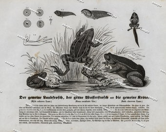 Authentic 1842 Natural History Print of Frogs Amphibians  - Large print-black and white