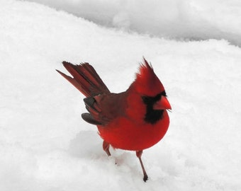 Red Cardinal - Cardinal Photograph - Bird - Snow and Red Bird - Winter Bird - Nature Art - Nursery Art Decor - Wall Decor - Bird Photograph