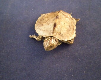 Taxidermy Mississippi Map turtle (c-1)