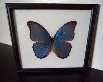 Real Butterfly Blue Morpho Giant (Morpho Didius) Framed Display Butterfly Taxidermy Lepidopterology Entomology Zoology