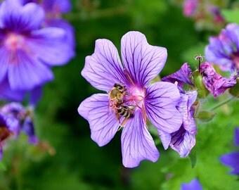 Honeybee Bee Pollen mixed flower seeds
