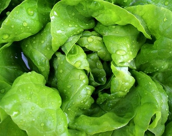 Tom Thumb Bibb Lettuce seeds- OP/ Heirloom seeds