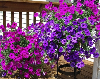 Petunia flower seeds,65,heirloom seeds,petunia grandiflora nana mixed,heirloom flower seeds,colorful flower,mix petunia seeds,gardening