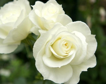 White rose seeds, flower seeds,198,white roses for wedding,roses from seeds,planting roses,growing roses from seeds,seeds for rose,gardening