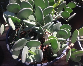 Succulent plant, Silver Dollar Plant, native to Madagascar.