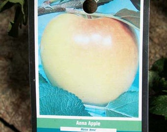 4'-5' Anna Apple Fruit Tree Plant Live Trees Grow Your Own Fresh Crisp Apples Home Garden Orchard Plants Shipped Nationwide Now
