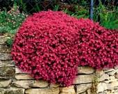 50 - Rock Cress Seeds - Cascading Red  - Heirloom Rock Cress, Non-GMO Rock Cress, Groundcover Seeds, Perennial Seeds, Red Flower Seeds!