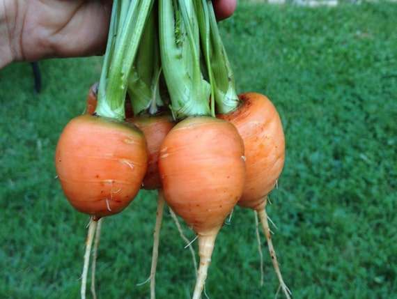 how to grow parisian carrots