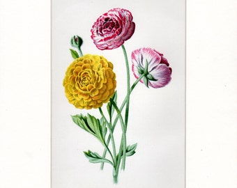 Vintage Botanical Print Ranunculus Buttercup Vintage Flower Print Garden Flowers Custom Matted 8 X 10 Inches Garden Decor Gardening