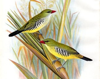 1899 Antique Bird Print Waxbill Lithograph Nature Frohawk Wall Decor Vintage Bird Print Bird Art