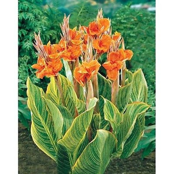 Wedding Flowers Pretoria: Canna Lily Seeds PRETORIA Variegated Foliage Exotic