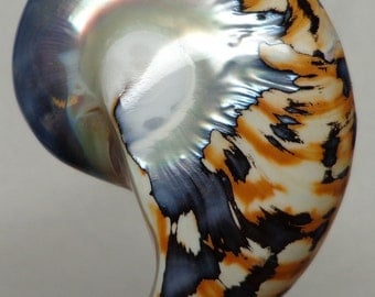 Tiger Nautilus Shell half 50mm x 33mm x 12mm