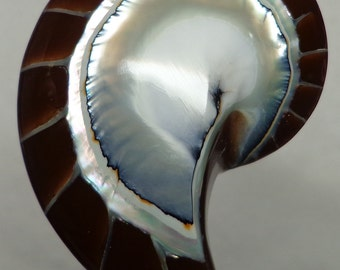 Brown Tiger Nautilus Shell half 50mm x 33mm x 12mm