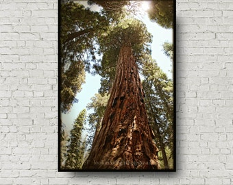 Tree Photography, Giant Sequoia Woodlands Photo, California Nature Photo Art, Sunlight & Ancient Sequoia, Sequoia National Park, California