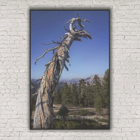 Yosemite Tree Photo, Surreal Old Tree, Sentinel Dome Photo, Yosemite Wild Tree Art, Yosemite National Park Photo, California Nature Print