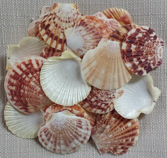 Scallop shell small shells craft shells beach decor - Scallop shells for crafts ...