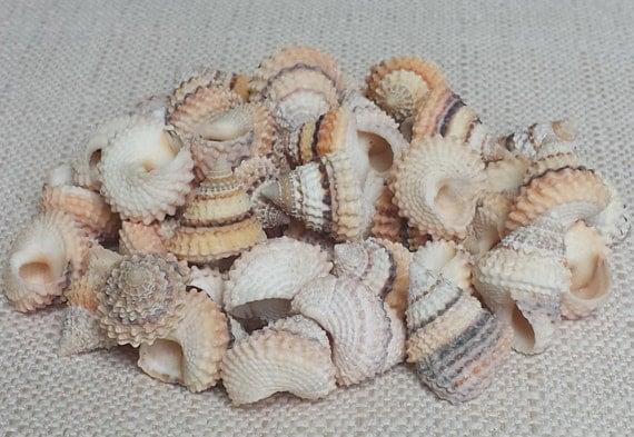 Tiny shells small shells beach decor seashells shells for Tiny shells for crafts