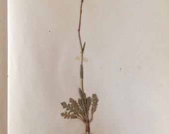 1921 Herbarium Specimen