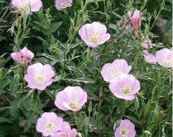 Evening Primrose - Pink  - 500 seeds
