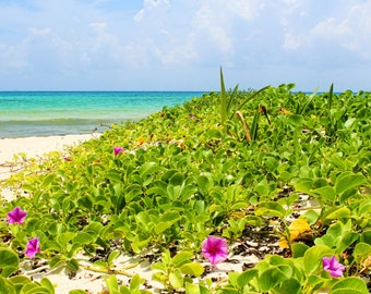 Paradise in Bloom, Morning Glory, Purple Flowers, White Sand, Blue Water, Tropical, Playa Del Carmen, Mexico