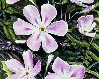 Woodland Phlox flowers