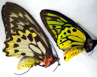 Unmounted Ornithoptera Croesus Lydius Pair - Ready To Rehydrate