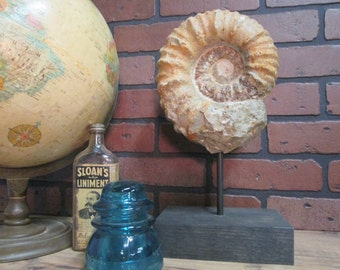 "Large Genuine Ammonite Fossil on Wooden Base  14"" tall Great Gift for Men"